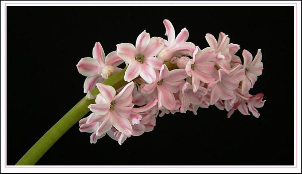 Hyacinth by helenlinda