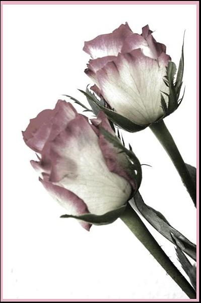 2 roses by helenlinda