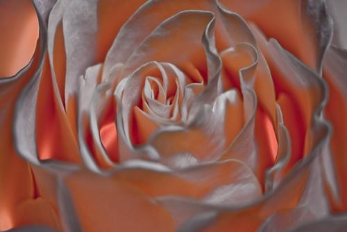 The Rose... by mavericke