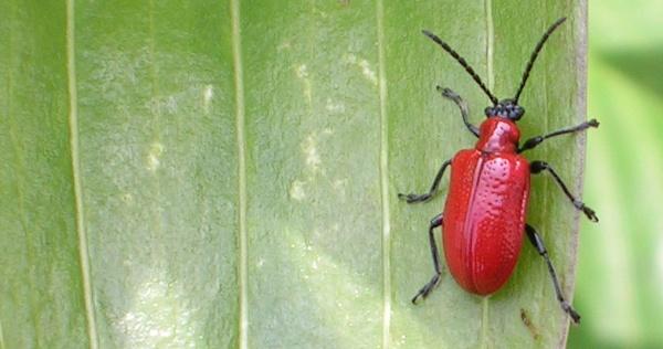 Lily Bug by mavericke