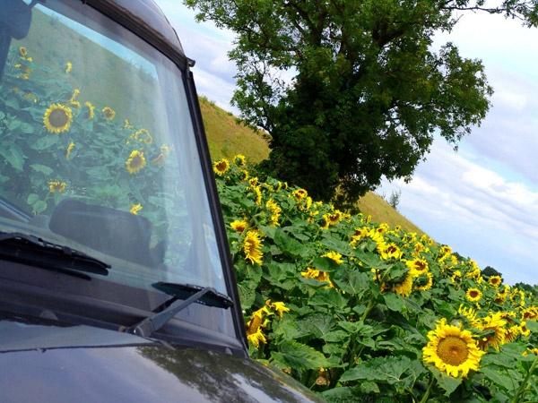 sunflower landscape by jessbu