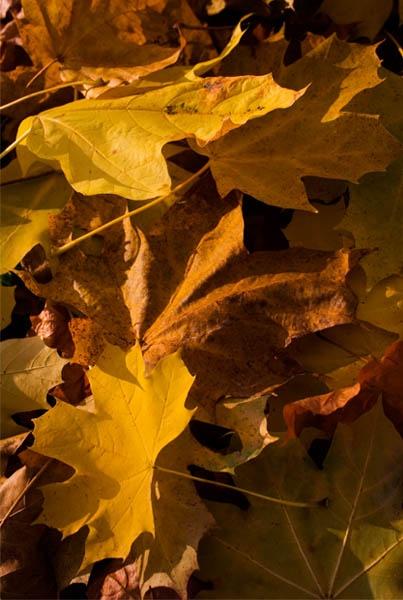 Golden Leaf by jammy_sam