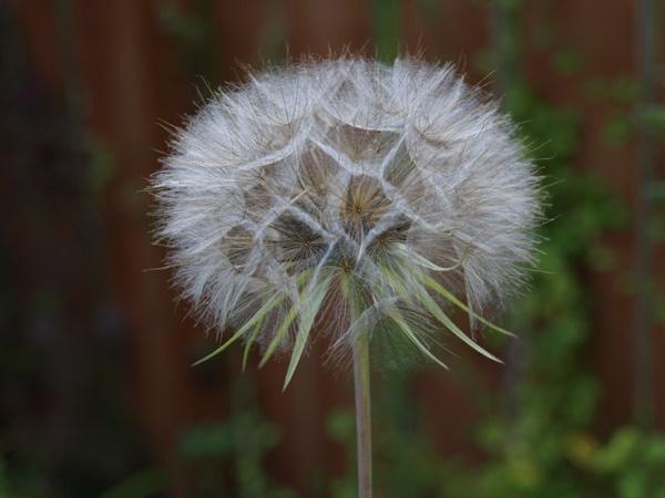 Allium Seed Head by Tournisol