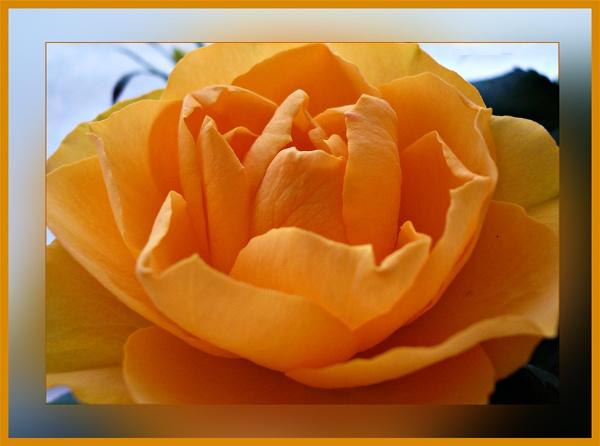 Rose Gold by sandrish