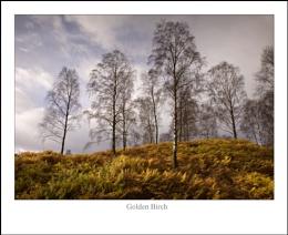 Golden Birch...