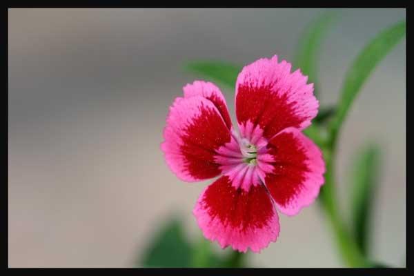 Pink by magnus