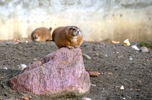 Groundhog by syphonefly