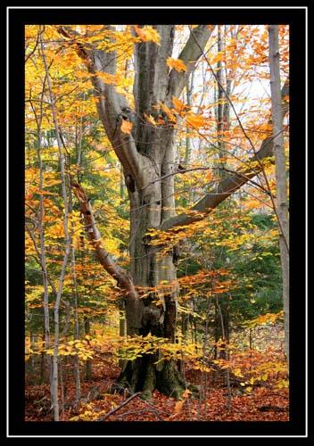 Beech Tree by robertb