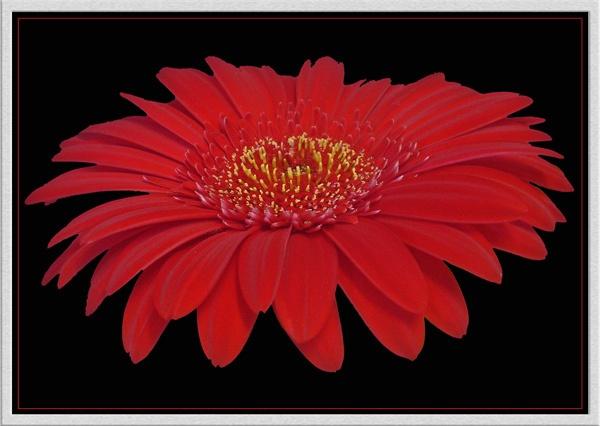red on black by CarolG