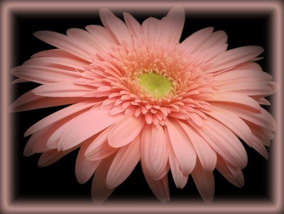 pretty in pink by CarolG