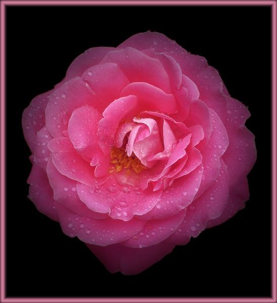 pink petal power by CarolG