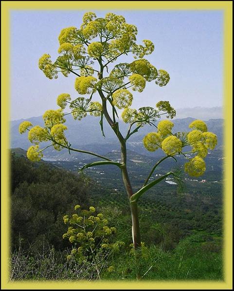 Wild fennel by CarolG