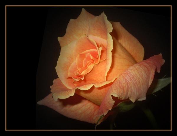 the final rose by CarolG