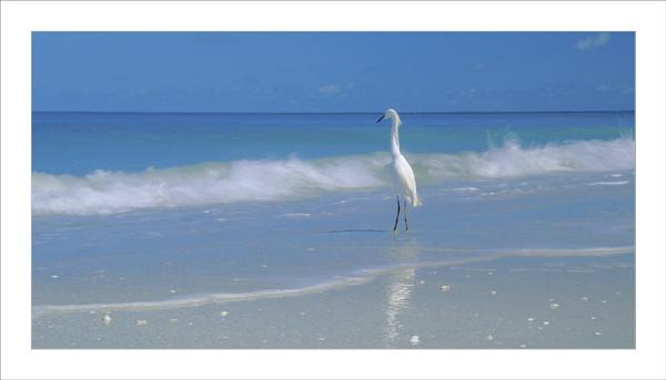 "\"" Floridian Egret \"" by John Giddings"