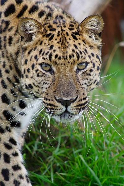 Leopard by freddos
