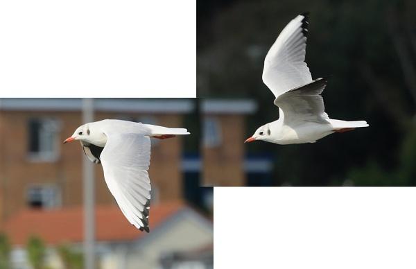 Gull in flight by msumyk