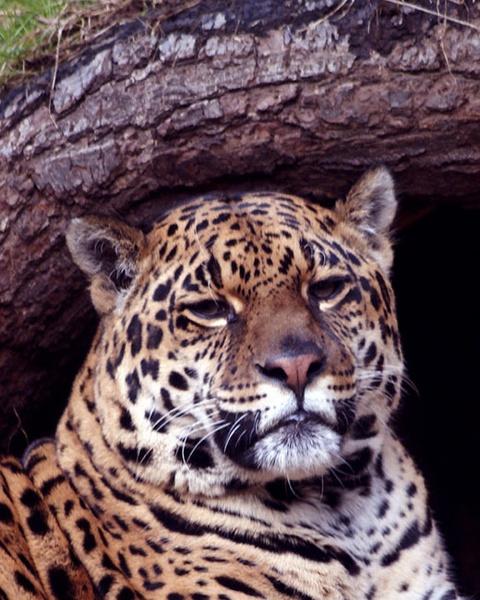 Leopard by TheGlaswegian