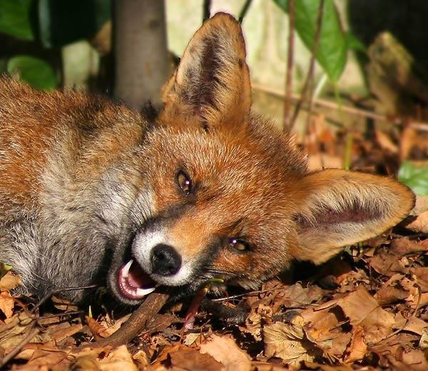 Mr Fox takes a bite by shinyredmx5
