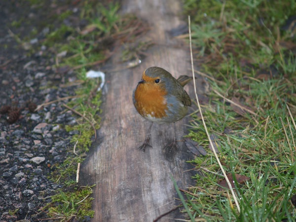 robin by Tournisol