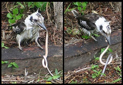 Kookaburra and snake by Apples