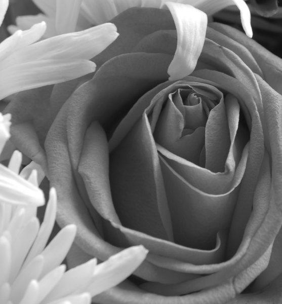 Rose by mindy73