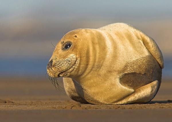 Grey Seal pup by John_Wannop