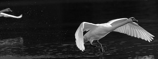 Swan\'s landing?! by RobertZ