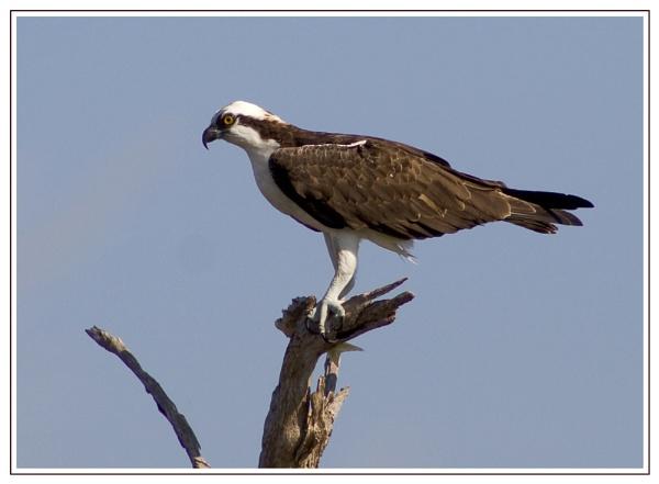 Osprey by froggy