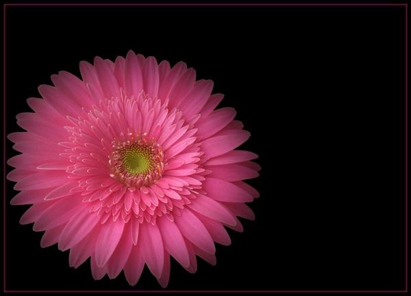 pink on black by CarolG
