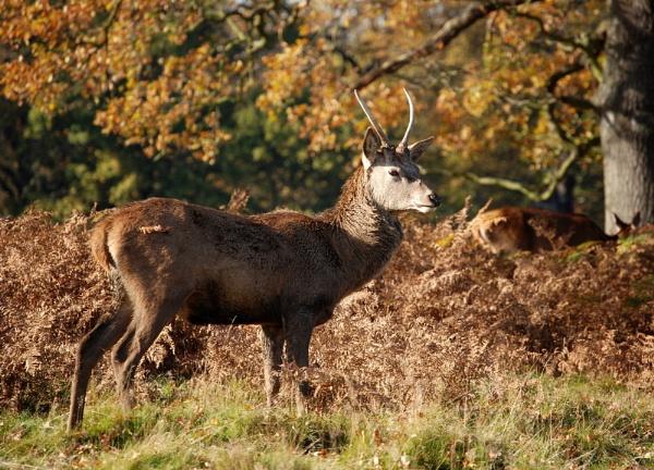 Deer by stevebidmead