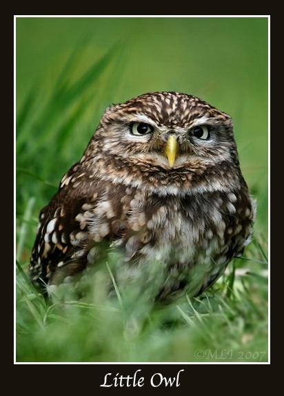 Little Owl by mialewis