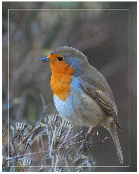Robin....at Lotherton by MikeRC