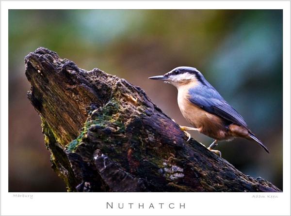 Nuthatch by sherlob