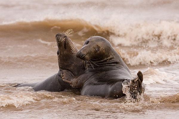 Grey Seals in the surf by mumfie2003