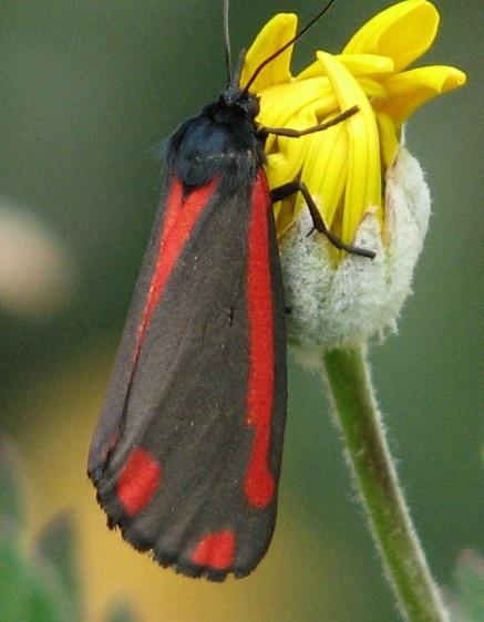 Cinnabar Moth. by Gecko