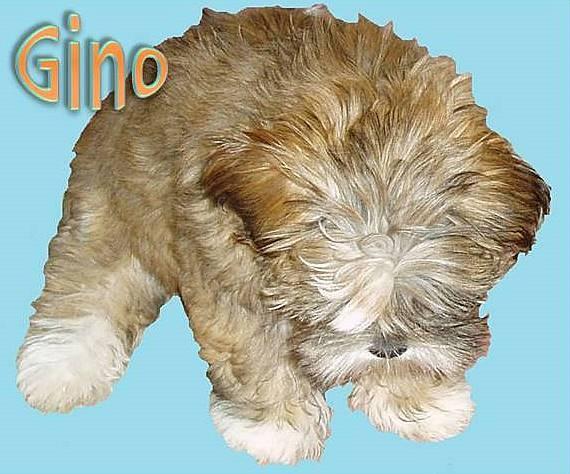 Gino by Caledonia