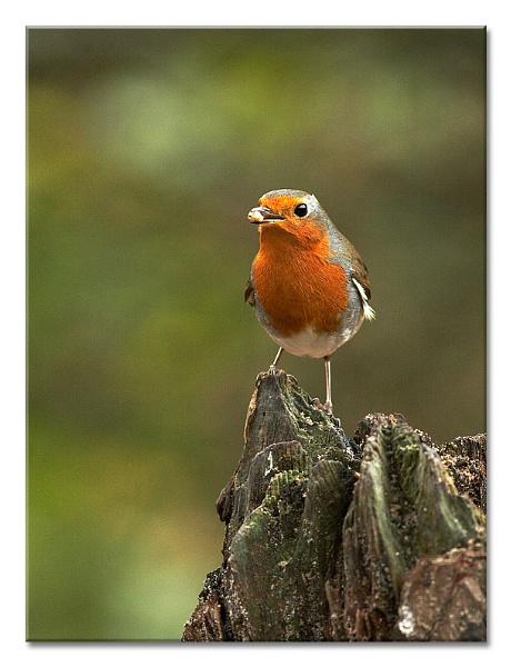 Rockin\' Robin by MrsS