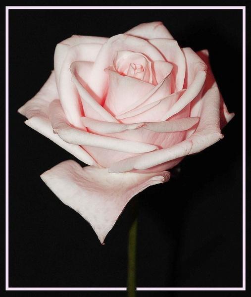 PINK ROSE by sandyd