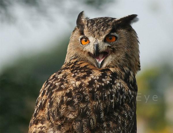The Laughing Owl by thrumyeye
