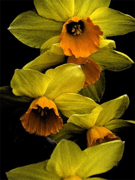 Daffodils in the Dark by Assyrian