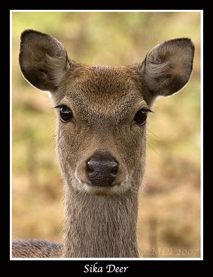 Sika Deer by mialewis