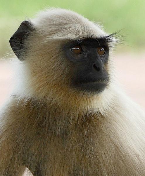 Monkey by Bucks