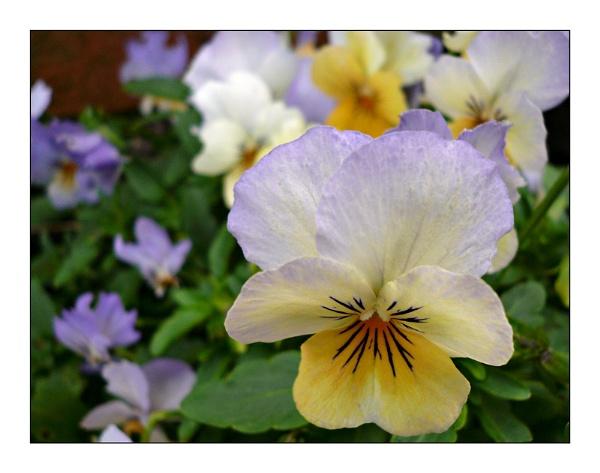 Pretty Pansies by sandrish