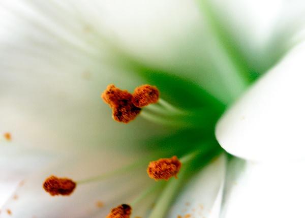 Lily by boiledegg