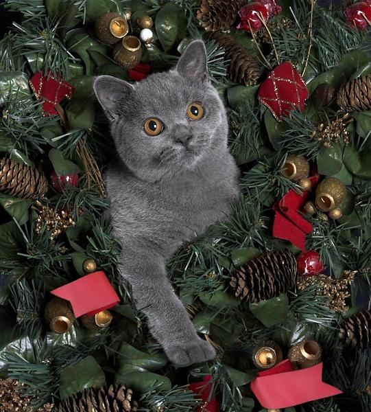 Tilly@Christmas by teddy