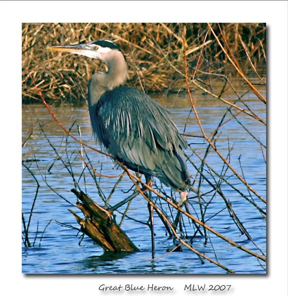 Great Blue Heron by mommy2cutekids