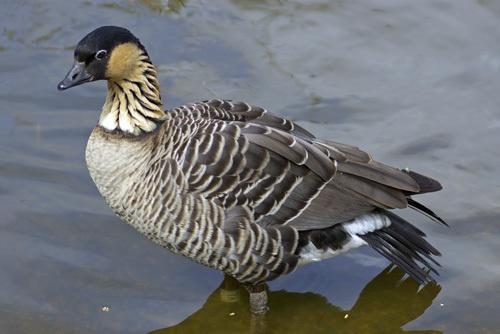 shy goose by peterhookwilde