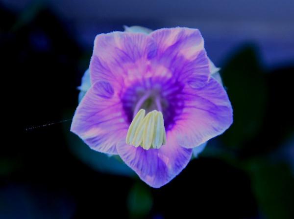 Purple Flower by msumyk