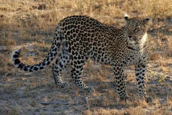 Leopard by Lindaephotozine