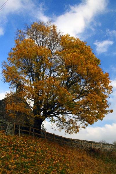 Autumn Tree by wheresjp